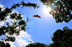 Flying bat. Backlit sun Stock Image