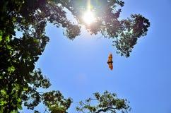 Flying bat. Backlit sun Stock Photography