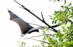 Flying bat Stock Image
