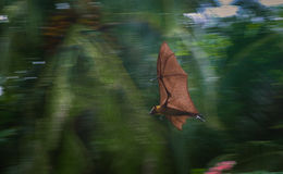 Flying bat Royalty Free Stock Images