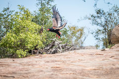 Flying Bateleur eagle. Royalty Free Stock Photo