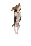 Flying beagle. Cute adorable beagle jumping high looking like he is flying Royalty Free Stock Photos