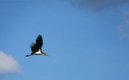 flying beautiful heron bird Stock Image