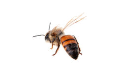 Flying bee. On a white background. Wings are greased by movement Royalty Free Stock Image
