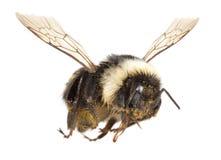 Flying Bee Stock Photos