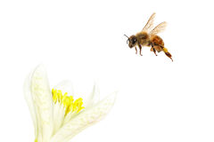 Free Flying Bee Royalty Free Stock Photos - 32103918