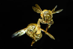 Flying bee. Close-up shot of  Flying bee with black background Royalty Free Stock Photography
