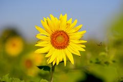 Flying bee. Amazing flying bee, needed honey fron sunflower Stock Images