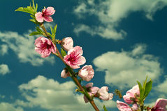 Flying bee. And peaches flowers against cloudy blue sky Stock Photos