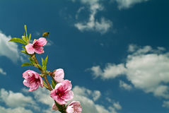 Flying bee. And peaches flowers against cloudy blue sky Royalty Free Stock Photo