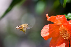 Flying bee. A bee is flying to close up flower Royalty Free Stock Photography