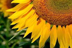 Flying bee on a big sunflower Royalty Free Stock Image