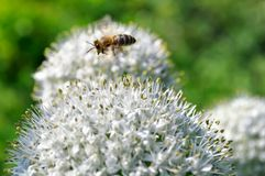 Flying bee and blooming onion Stock Image