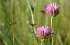 Flying bee and clover in summer field stock image