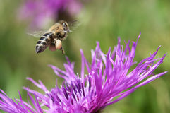 Flying bee collecting nectar. Flying bee with nectar collected Stock Image