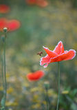Flying Bee and Corn Poppy Stock Images