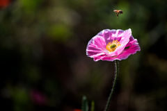 Flying Bee and Corn Poppy Stock Photo