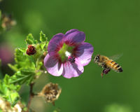 Flying bee and flower Stock Photography