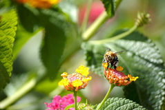 Flying bee on a flower. Bee sucking nectar from a colorful flower stock photo