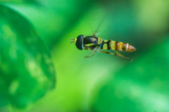 Flying bee Stock Images