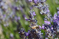 Flying bee in lavender Royalty Free Stock Image