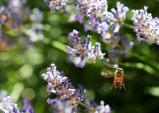 Flying bee in lavender back Stock Images