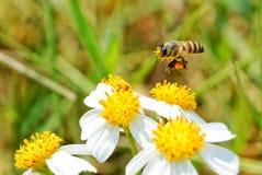 Flying bee. Little bee on white flower stock photo