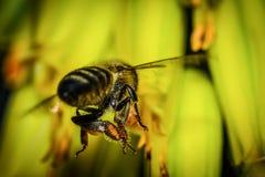 Flying bee moving away macro Royalty Free Stock Photography