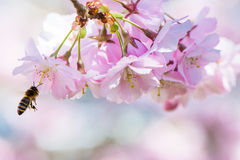 Flying Bee and Pink Cherry Blossoms Royalty Free Stock Photos