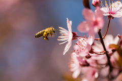 Flying bee. And pink flowers Royalty Free Stock Photos