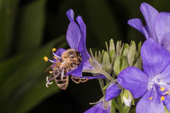 Flying Bee and Polemonium caeruleum Royalty Free Stock Image