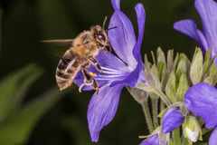 Flying Bee and Polemonium caeruleum Royalty Free Stock Photos