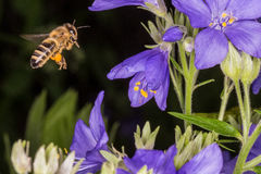 Flying Bee and Polemonium caeruleum Stock Photo