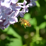 A flying bee. With pollen Stock Photography
