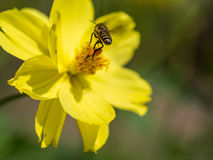 Flying bee with the pollen attached to his legs. Royalty Free Stock Photography