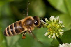 Flying bee pollinating clover Stock Image