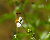 Flying bee and spanish needle flowers Royalty Free Stock Image