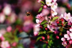 Flying Bee & Spring Blossoms. A flying bee pollinates a colorful array of Crabapple Tree blossoms during springtime (color saturated, shallow focus stock photo