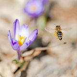 Flying bee and spring flowers Stock Photography