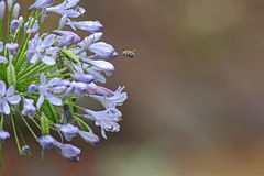Flying bee. A bee flying to a purple agapantha flower royalty free stock photography