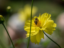 Flying bee on the top of the pollen on yellow bee. Royalty Free Stock Photography
