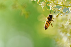Flying bee. It was shot in early summer morning last year, a flying bee was gathering nectar from flowers Stock Images