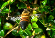 Flying bee. Wild bee in flight gathering some nectar Stock Photo