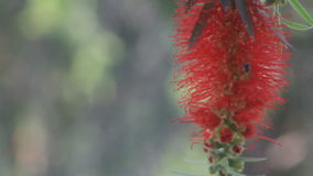 Flying bees nectar at Bottle brush tree flowers HD Royalty Free Stock Photo