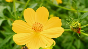 Flying bees nectar at Cosmos flowers ,full HD. Royalty Free Stock Photo