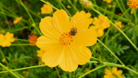 Flying bees nectar at Cosmos flowers ,fullHD. Stock Photo