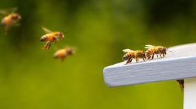 Flying bees. Some bees flying into their home the beehive Stock Images