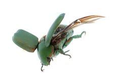 Flying beetle Stock Photography