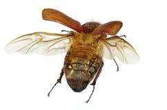 Flying beetle royalty free stock photo