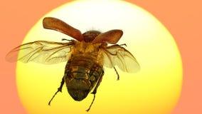 Flying beetle stock image